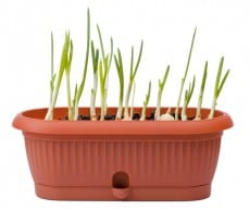 regrow garlic