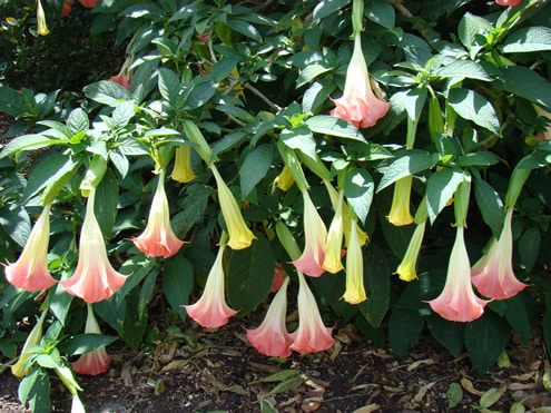 angels trumpets Dont Put Your Guard Down in Your Garden: These Deadly Plants May Be Lurking In Your Backyard