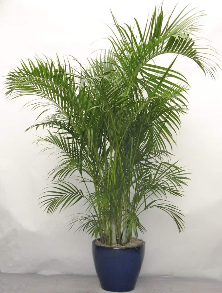 areca palm  NASA: Use These Plants To Protect You From Deadly Airborne Chemicals