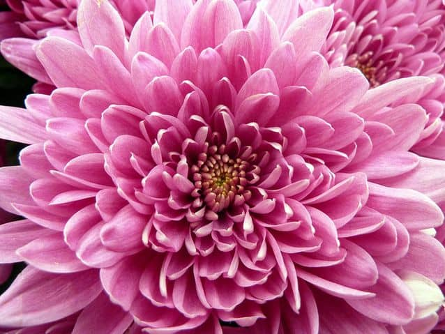 chrysanthemum NASA: Use These Plants To Protect You From Deadly Airborne Chemicals