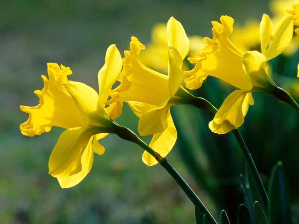 daffodils Dont Put Your Guard Down in Your Garden: These Deadly Plants May Be Lurking In Your Backyard