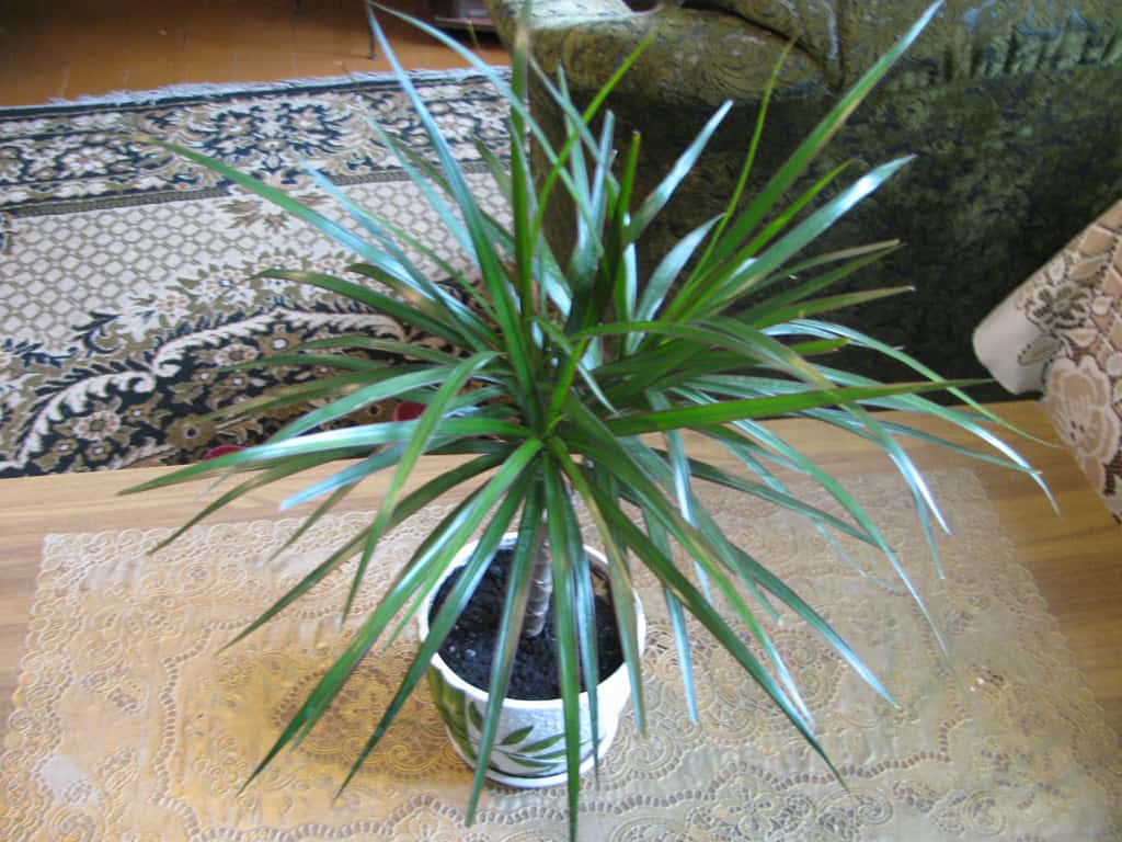 dracaena NASA: Use These Plants To Protect You From Deadly Airborne Chemicals