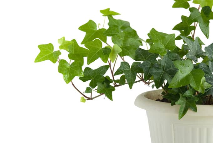 english ivy  NASA: Use These Plants To Protect You From Deadly Airborne Chemicals
