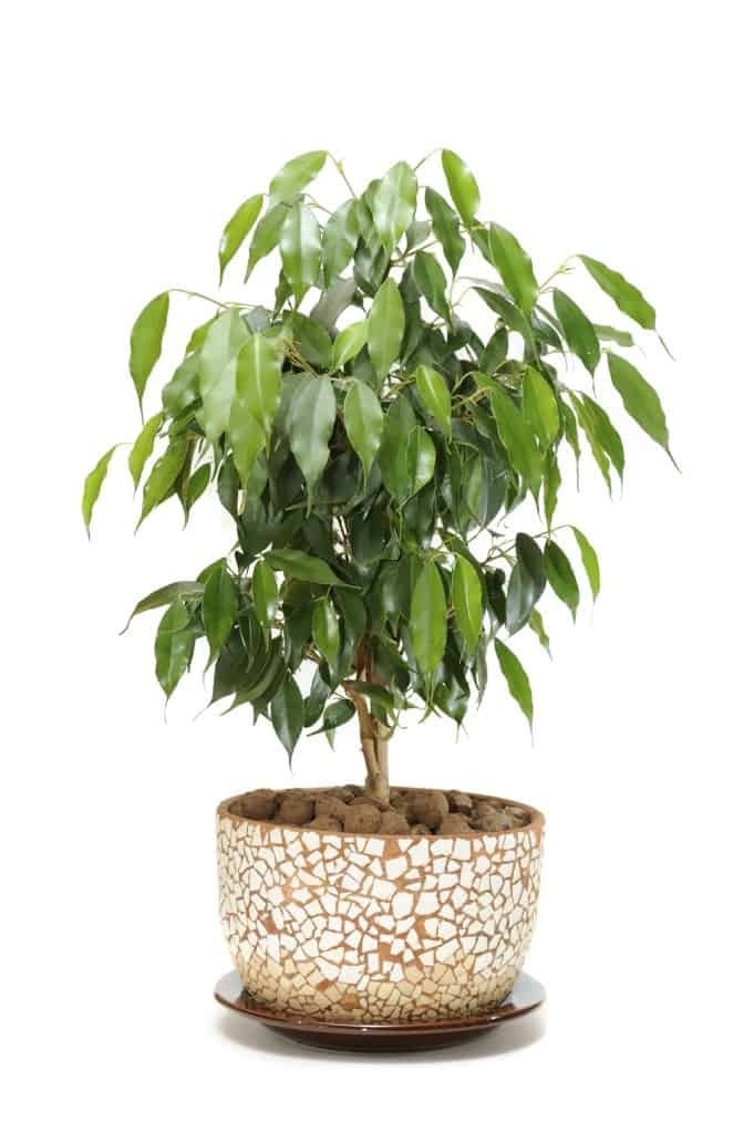 ficus NASA: Use These Plants To Protect You From Deadly Airborne Chemicals