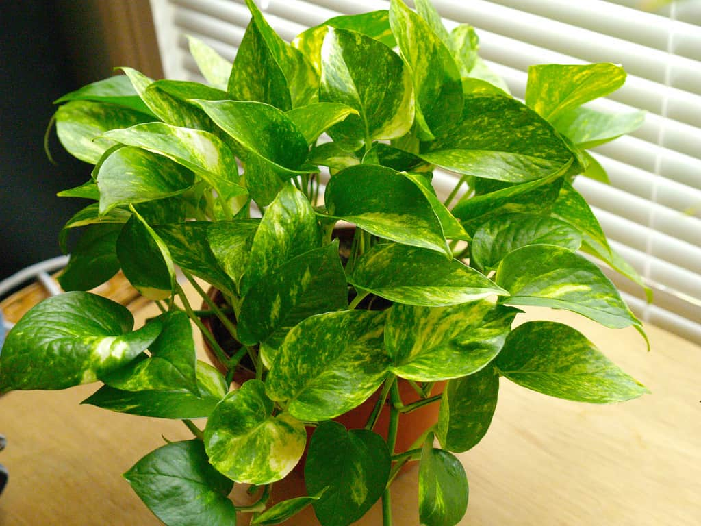 golden pothos  NASA: Use These Plants To Protect You From Deadly Airborne Chemicals