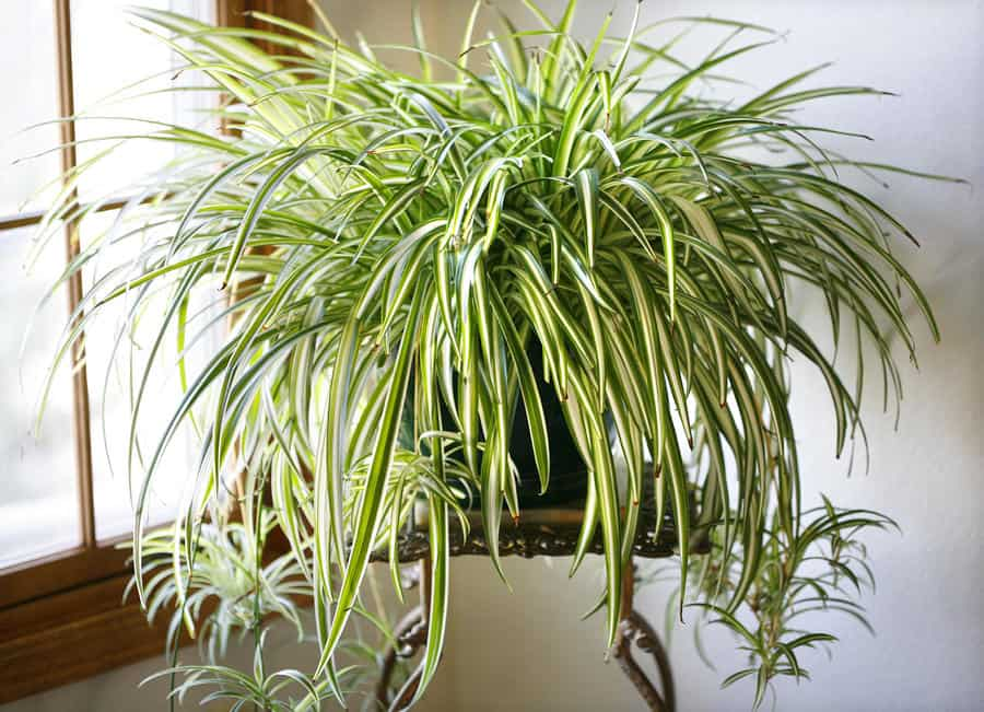 spider plant  NASA: Use These Plants To Protect You From Deadly Airborne Chemicals