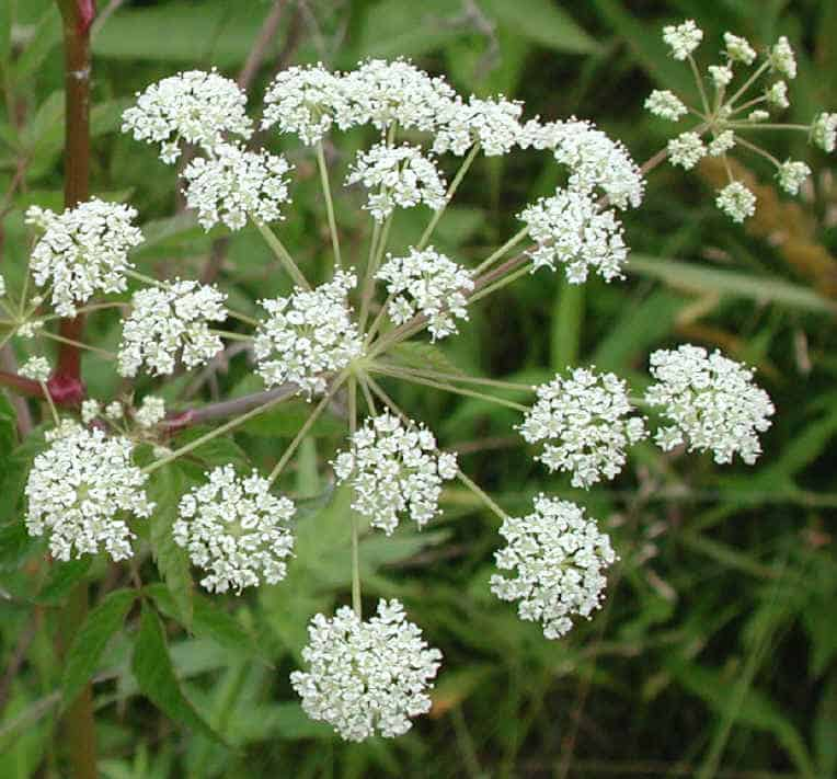water hemlock Dont Put Your Guard Down in Your Garden: These Deadly Plants May Be Lurking In Your Backyard