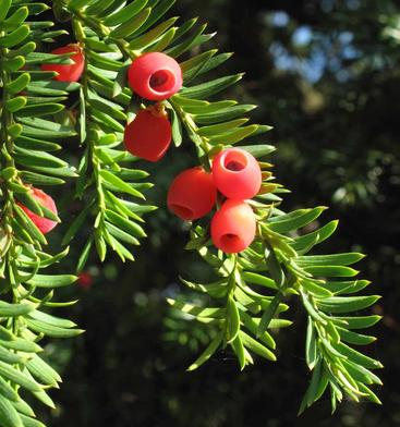 yew  Dont Put Your Guard Down in Your Garden: These Deadly Plants May Be Lurking In Your Backyard