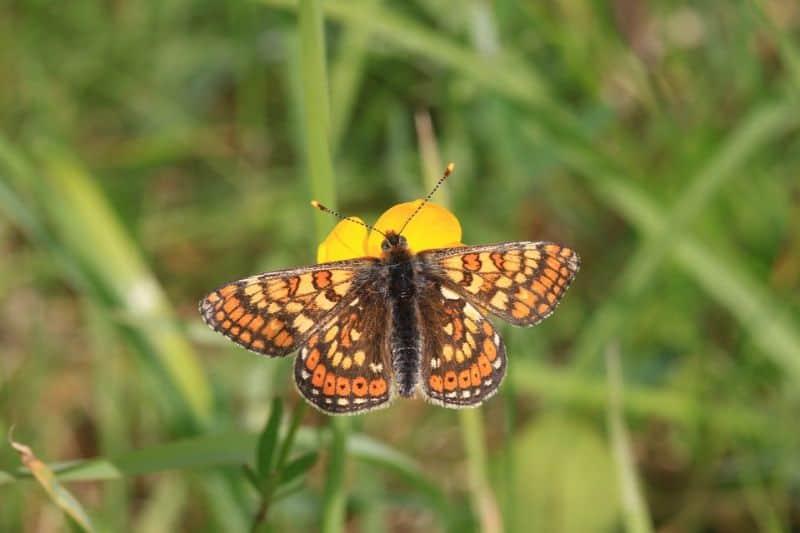 save-garden-wildlife-6-marsh-fritillary