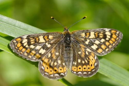marsh-fritillary-garden-butterfly