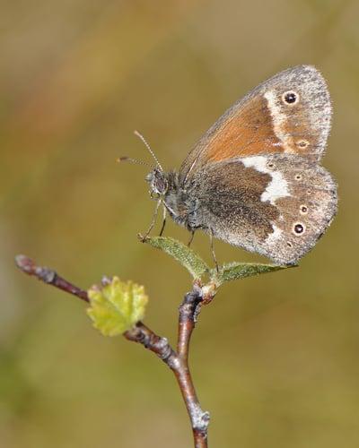 large-heath-garden-butterfly