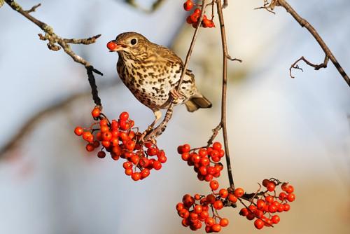 song-thrush-garden-wildlife