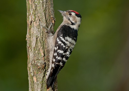 lesser-spotted-woodpecker-garden-wildlife