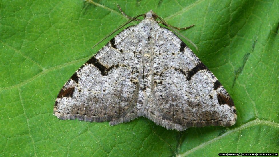 v-moth-garden-butterfly