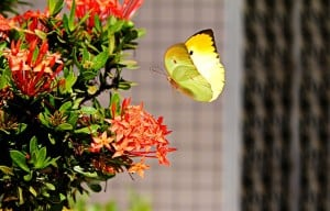 brimstone butterflies 300x192 Signs Of Spring and What To Watch Out For In Your Garden