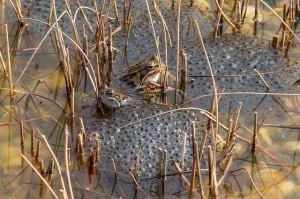 frog spawn 300x199 Signs Of Spring and What To Watch Out For In Your Garden