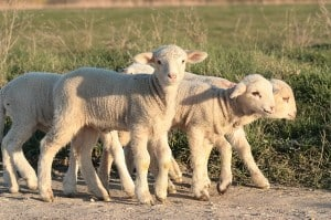 little lambs 300x199 Signs Of Spring and What To Watch Out For In Your Garden