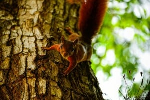 red squirrel 300x200 Signs Of Spring and What To Watch Out For In Your Garden
