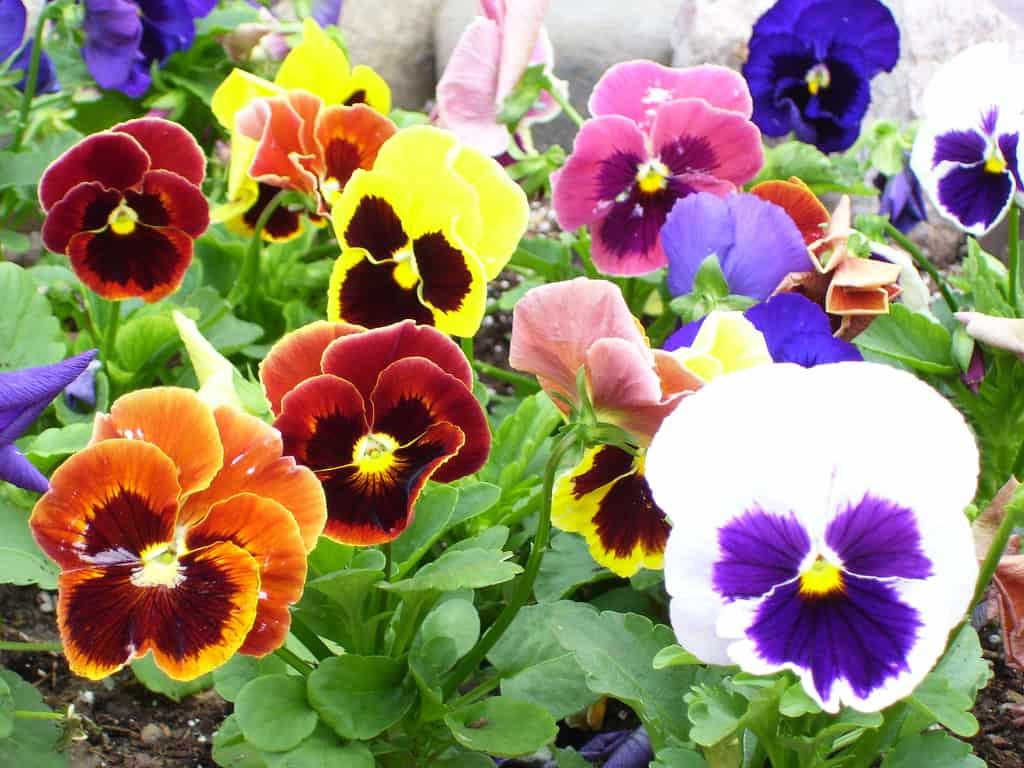 Pansies Edible Plant