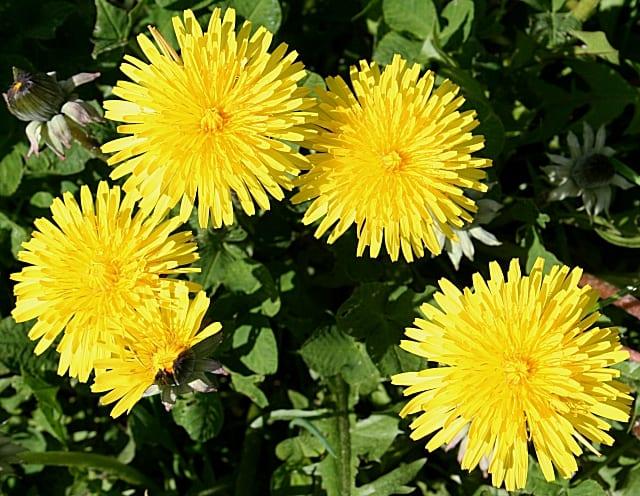 Dandelion Edible Plant