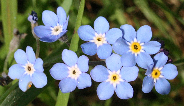 Forget-me-not edible plant