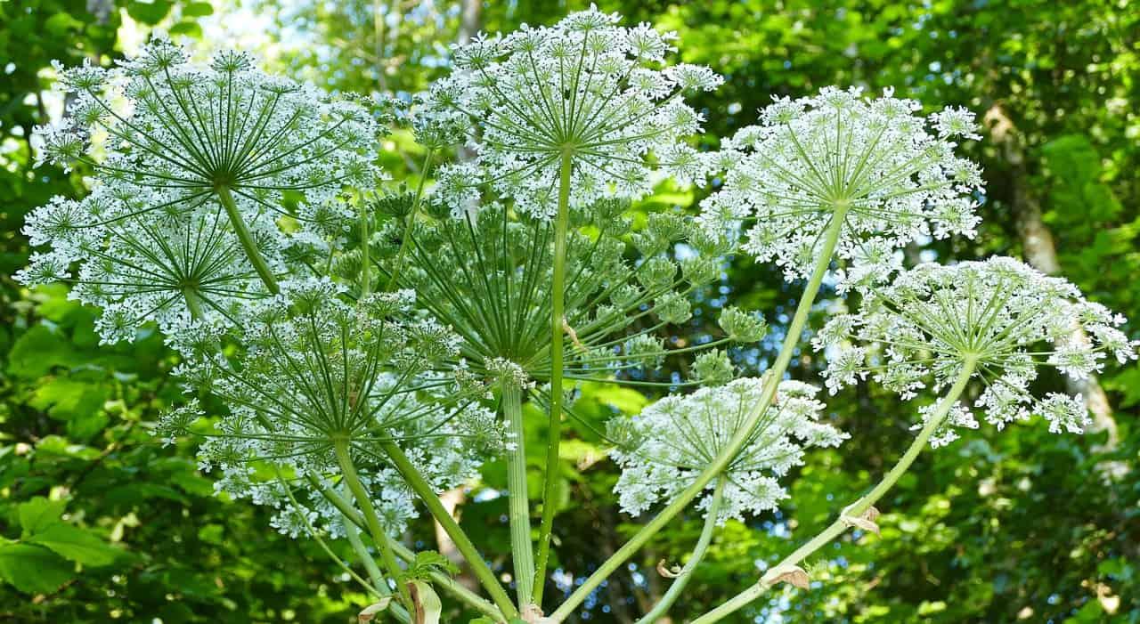 common-destructive-plants-uk-2-giant-hogweed