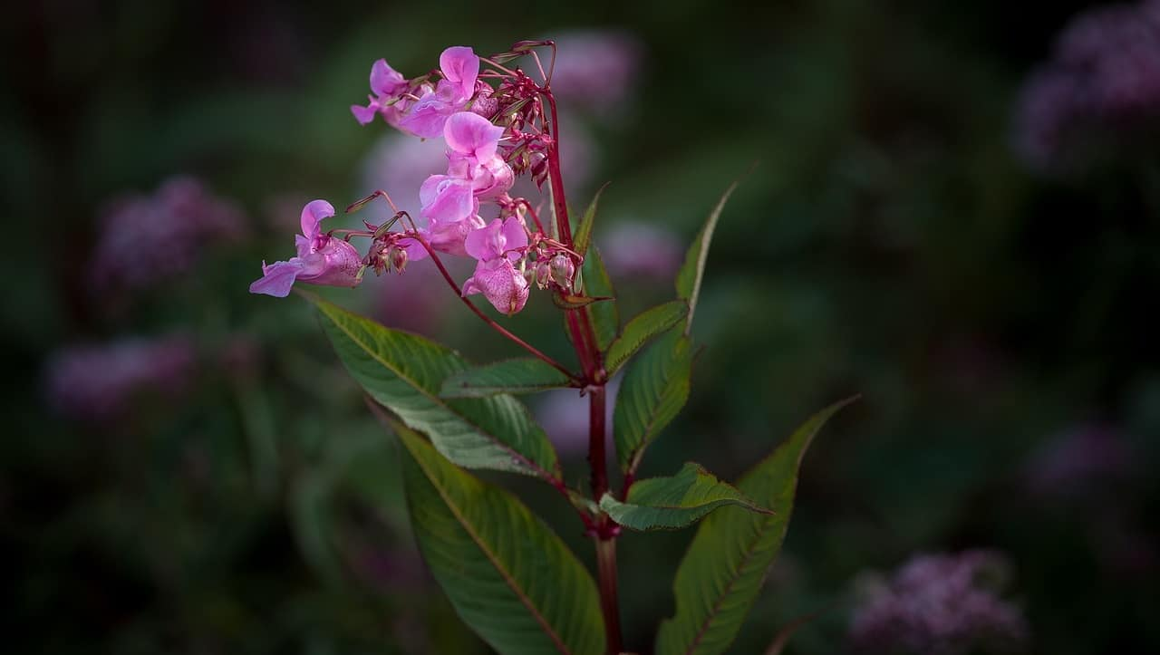 common-destructive-plants-uk-3-himalayan-balsam