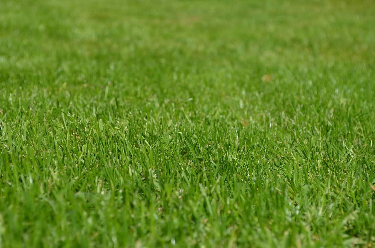 plants-hay-fever-victims-should-avoid-3-bermuda-grass