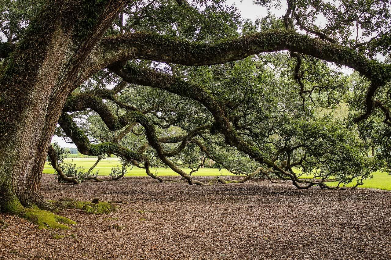 plants-hay-fever-victims-should-avoid-4-oak-tree