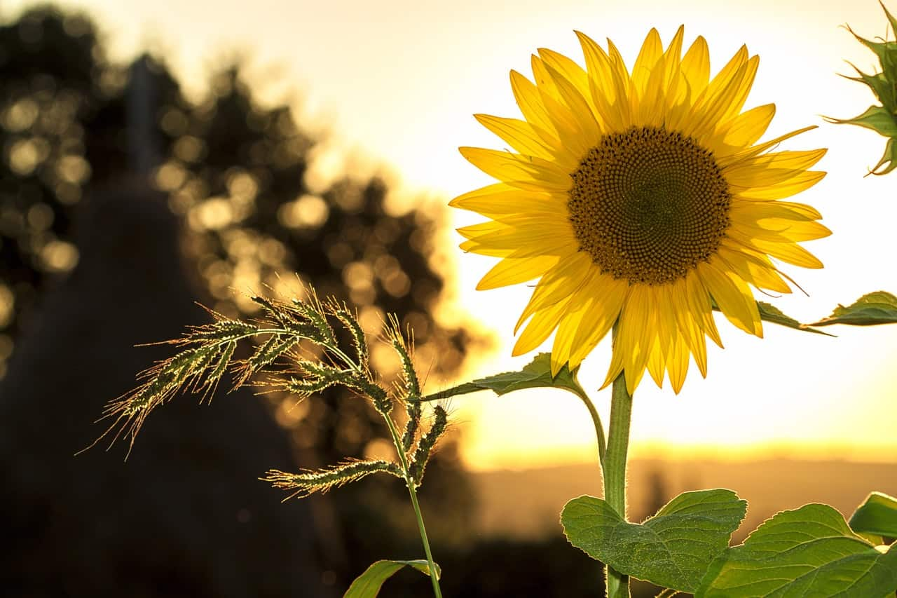 plants-hay-fever-victims-should-avoid-6-sunflowers
