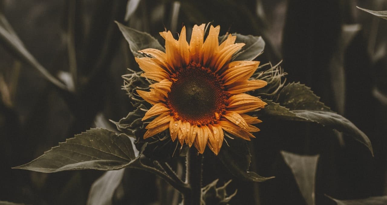 nine-fast-growing-flowers-1-sunflowers