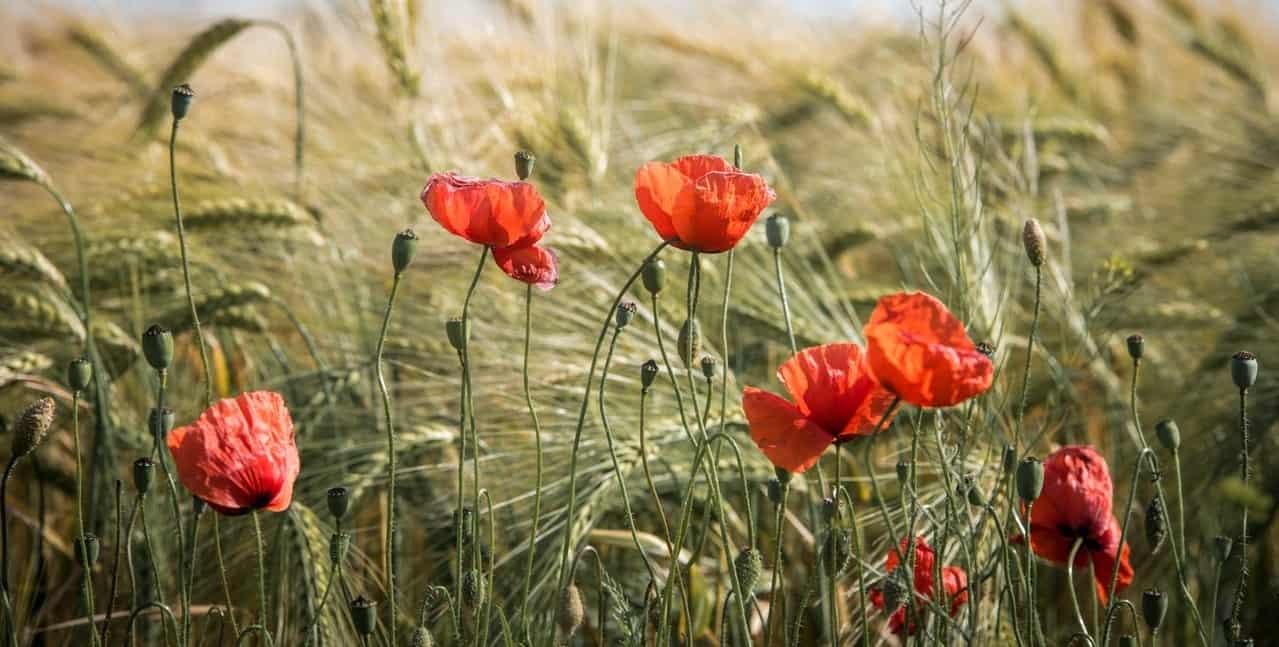 nine-fast-growing-flowers-2-poppies
