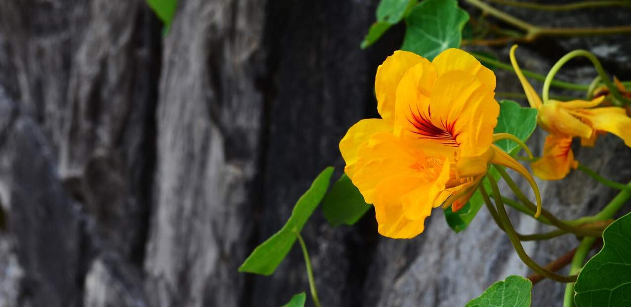 nine-fast-growing-flowers-3-nasturtium