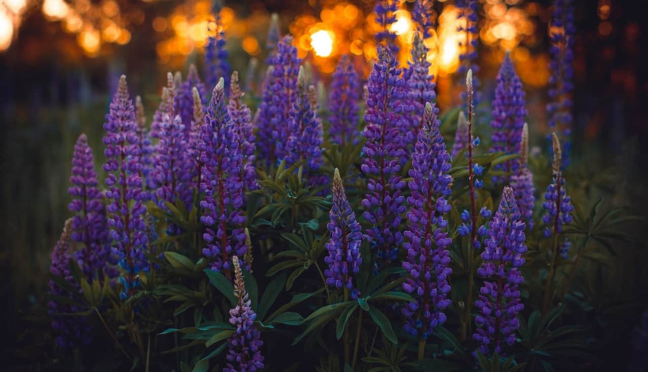 nine-fast-growing-flowers-4-lupin