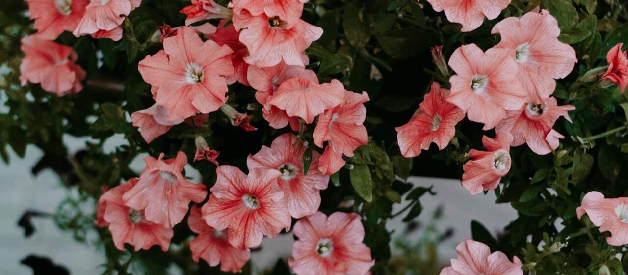 nine-fast-growing-flowers-8-petunias