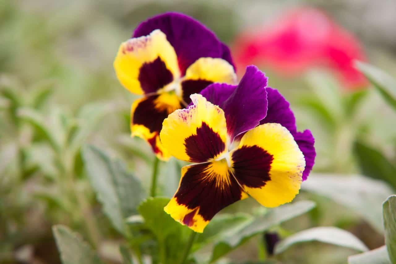 nine-fast-growing-flowers-9-pansies