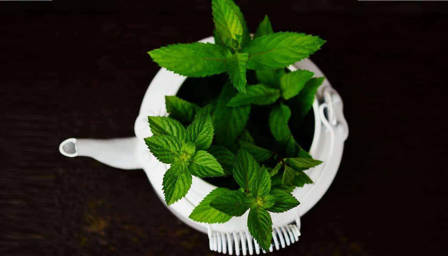 seven-stress-relief-plants-1-peppermint