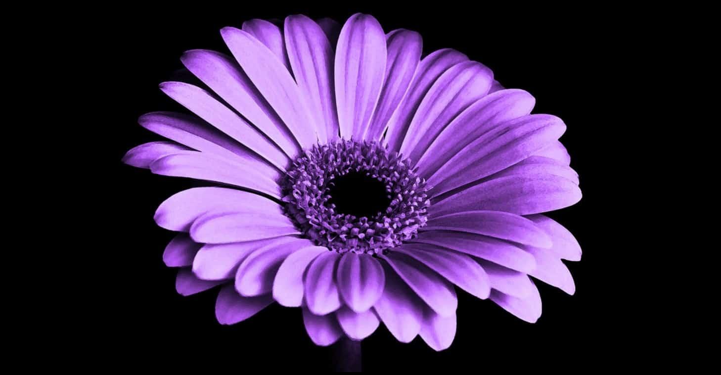 seven-stress-relief-plants-7-gerbera