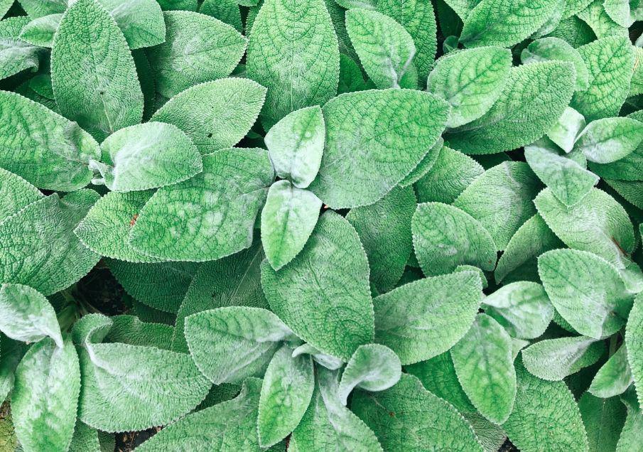 common-plant-diseases-cure-3-powdery-mildew