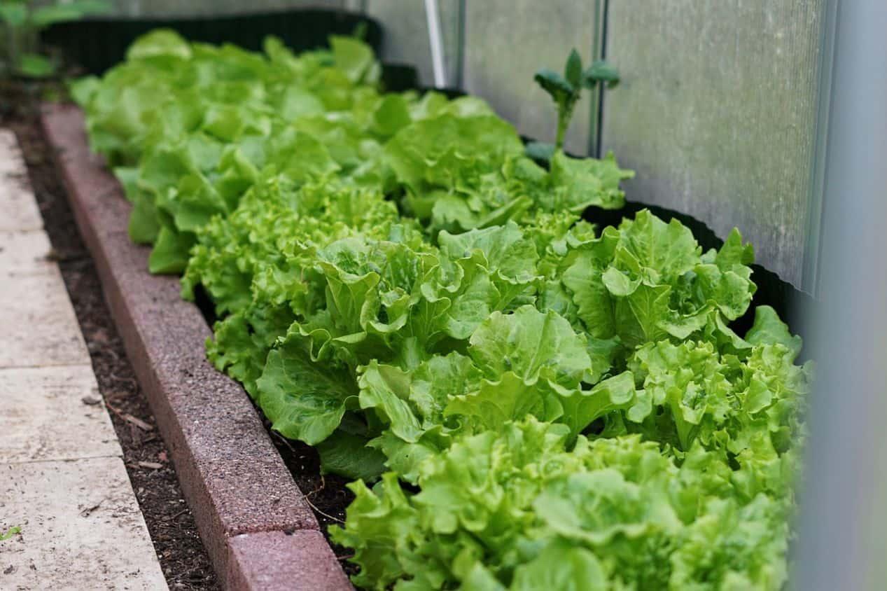 winter-greenhouse-plants-1-winter-lettuce