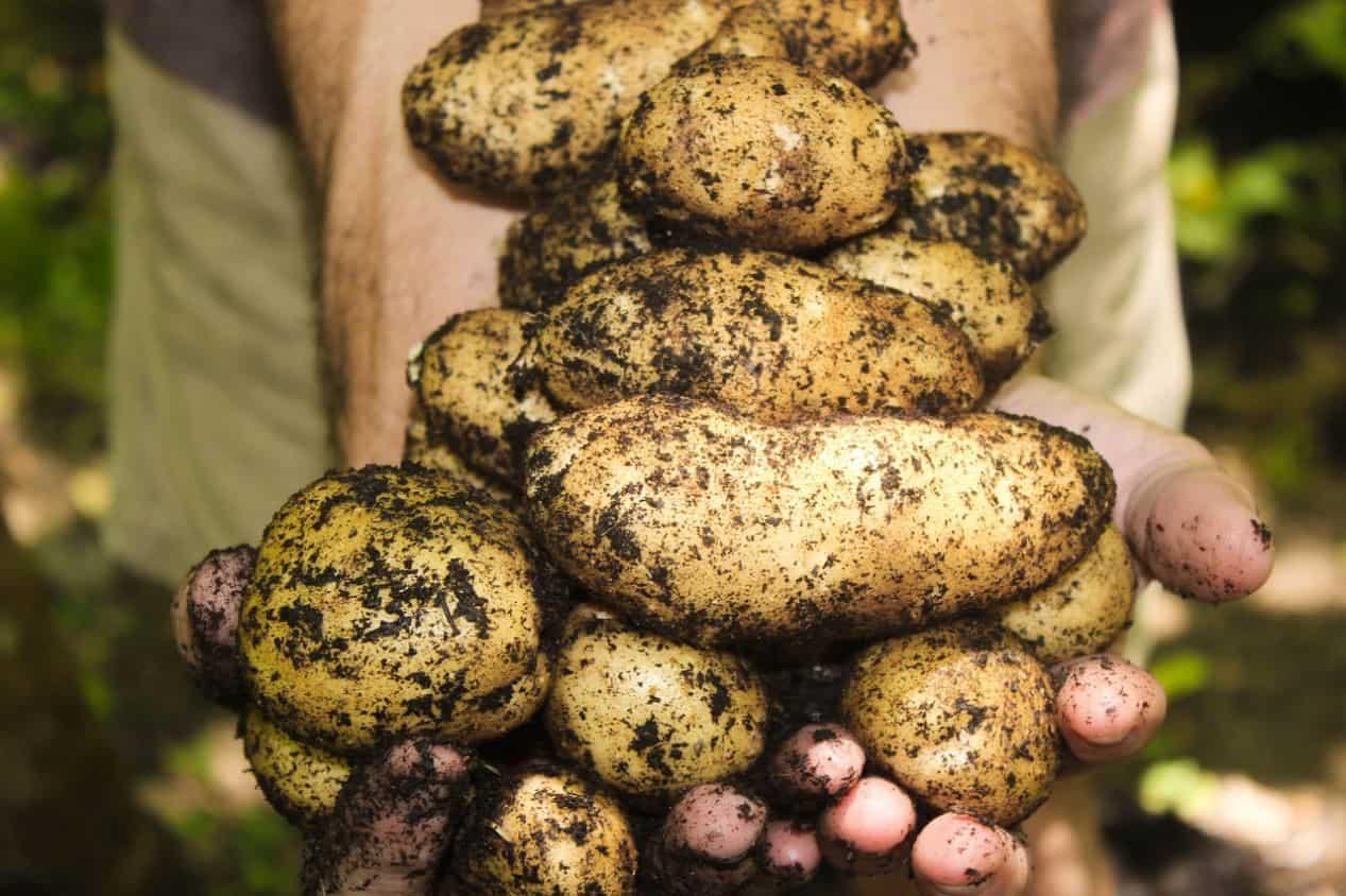 winter-greenhouse-plants-2-potatoes