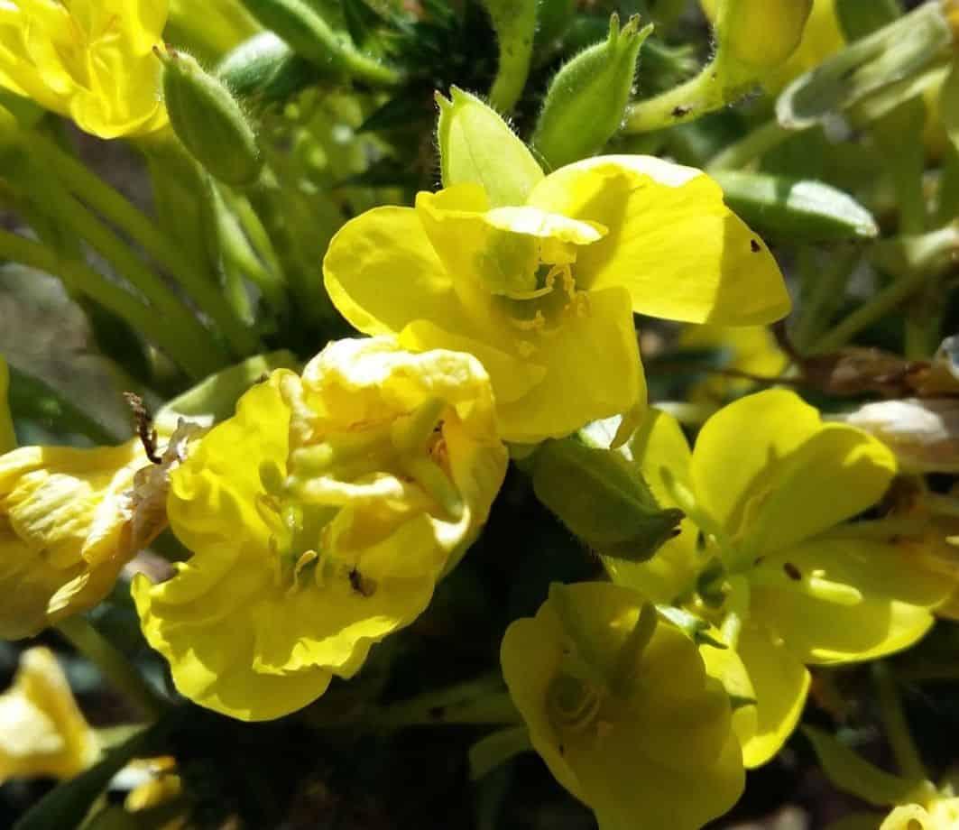 medicinal-plants-uk-1-evening-primrose-oil