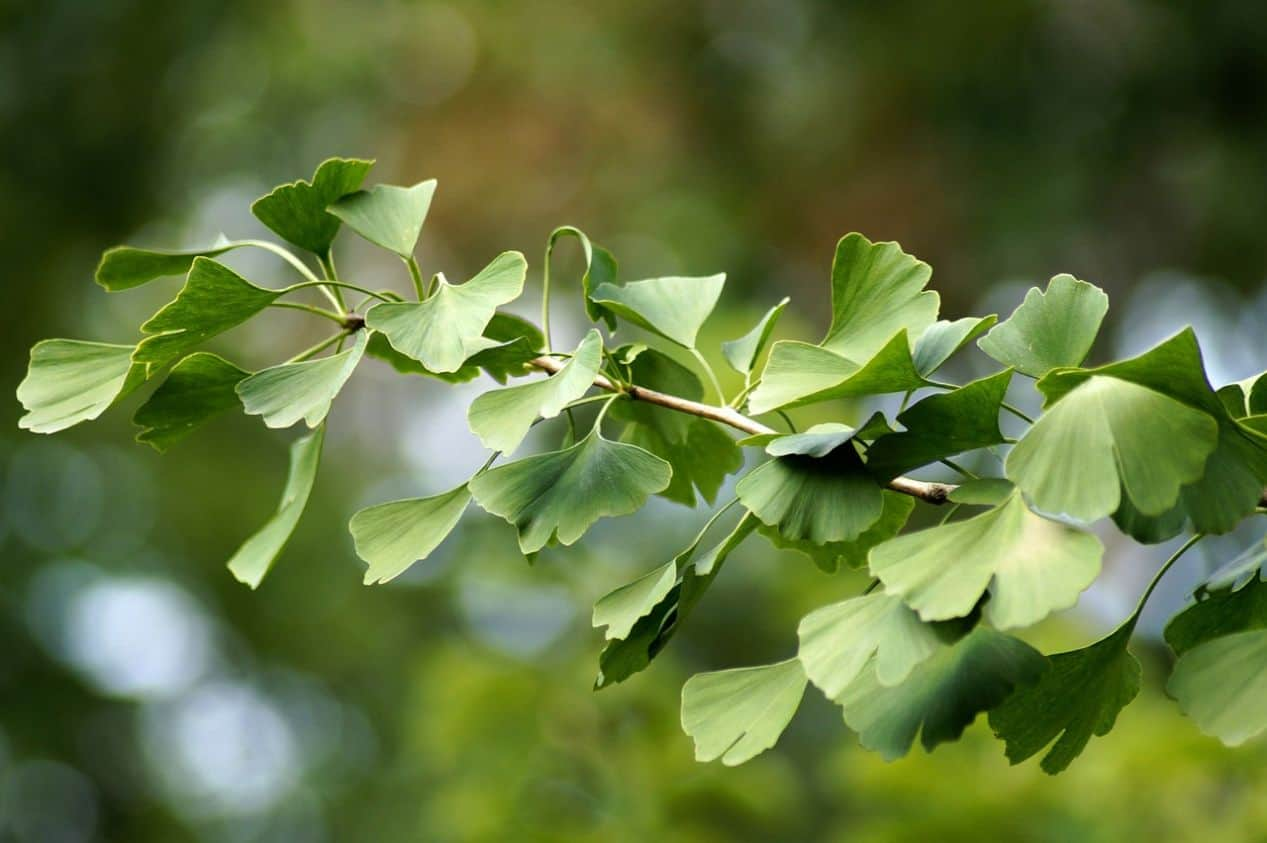 medicinal-plants-uk-3-gingko