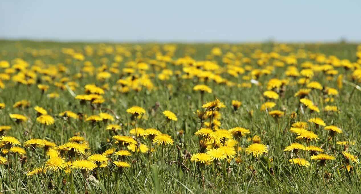 medicinal-plants-uk-6-dandelion
