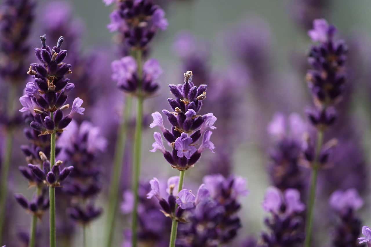 medicinal-plants-uk-7-lavender