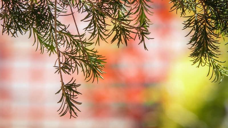 medicinal-plants-uk-9-tea-tree