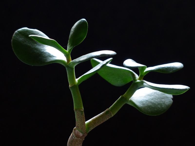 top-houseplant-trends-for-2020-3-the-money-tree-pixabay