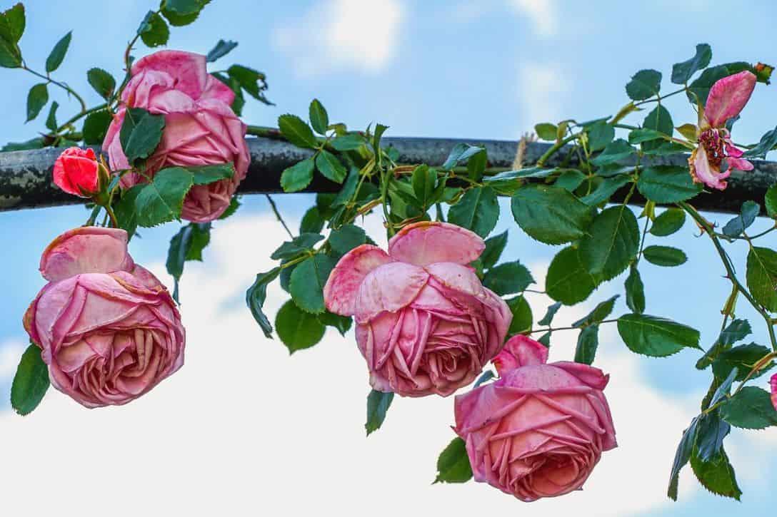 garden-climber-1-climbing-rose-pixabay