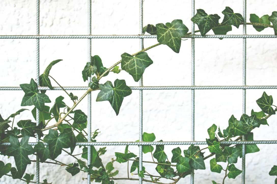 garden-climber-2-ivy-pixabay
