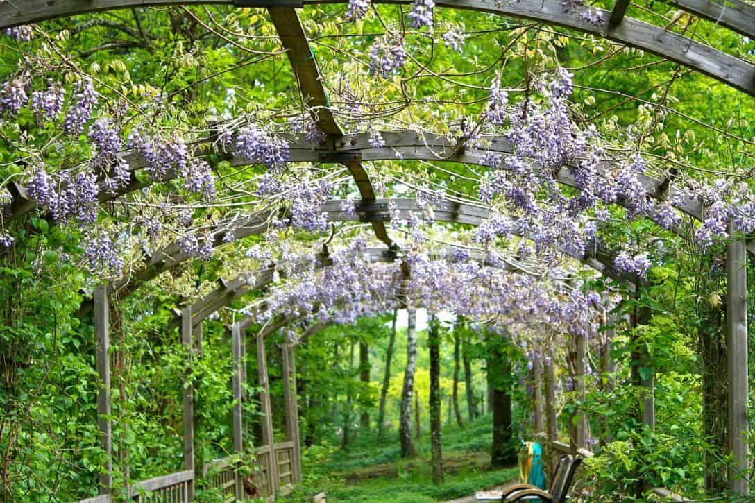 garden-climber-3-wisteria-pixabay